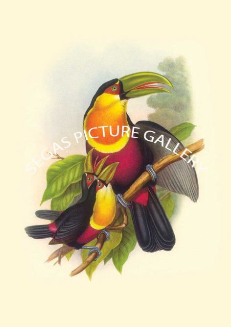 Fine art print of the Red Breasted Toucan by John Gould (1838-40)